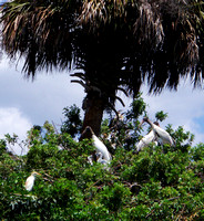 Nothing disguising these guys...from the mature Cattle Egret bottom left, to the baby Anhingas center, behind the tree, to the many ages of Wood Storks in between.