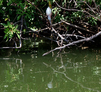 Naturally camouflaged, this LIttle Green Heron was motionlessly intent on snagging lunch.