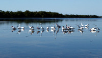 In search of Roseate Spoonbills, the way was very shallow and blessed with a bevy of white water birds!