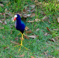 This Purple Gallinule was not even a little shy as it came near hoping for food