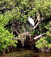 Caught this beautiful Great American Egret before it slipped into the mangroves to escape me.